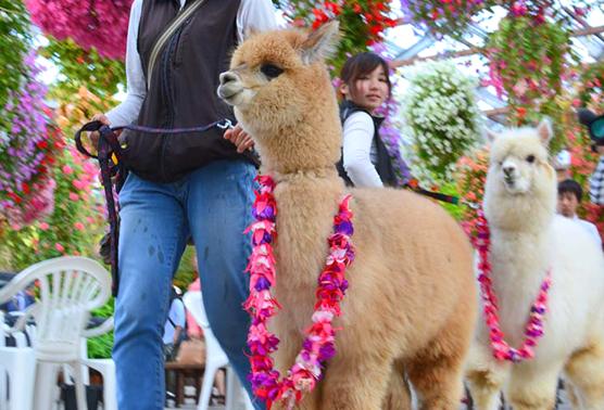 神戸花鳥園のアルパカのお散歩